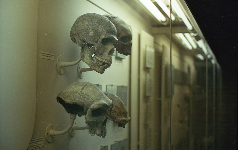 Early hominid skulls on display
