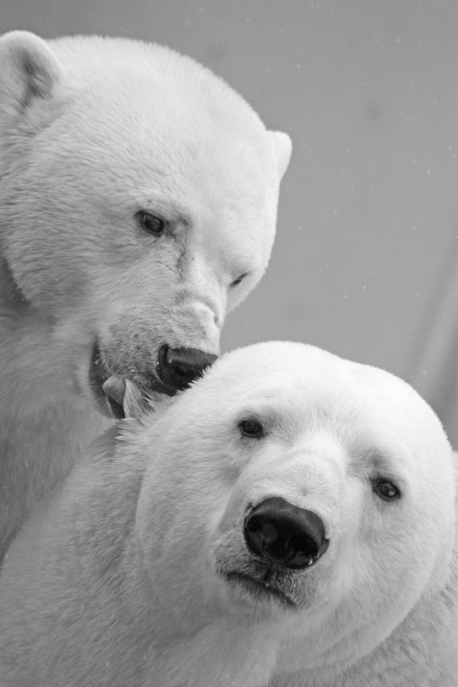Two polar bears nuzzling